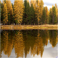 Larch trees, Seeley Lake, MT